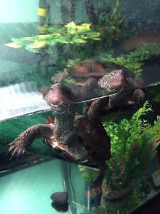 Two adult reeves turtles with tank and accessories