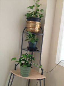 INDOOR MONEY IVY REAL SMALL PLANT EVER GREEN in POTS