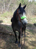 Percheron-Thoroughbred Mare for Part Board