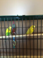 For Sale: 2 Budgies, Cage and Food