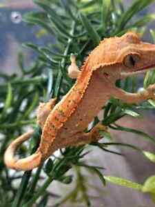 Baby crested gecko BLACK FRIDAY PRICE REDUCTION Kingston Kingston Area image 1
