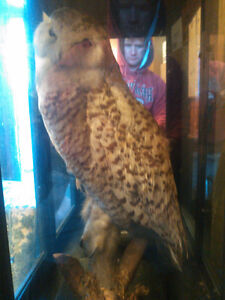 Antique Taxidermied Snowy Owl