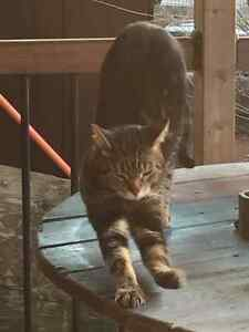 Tabby missing Carwood Ave area