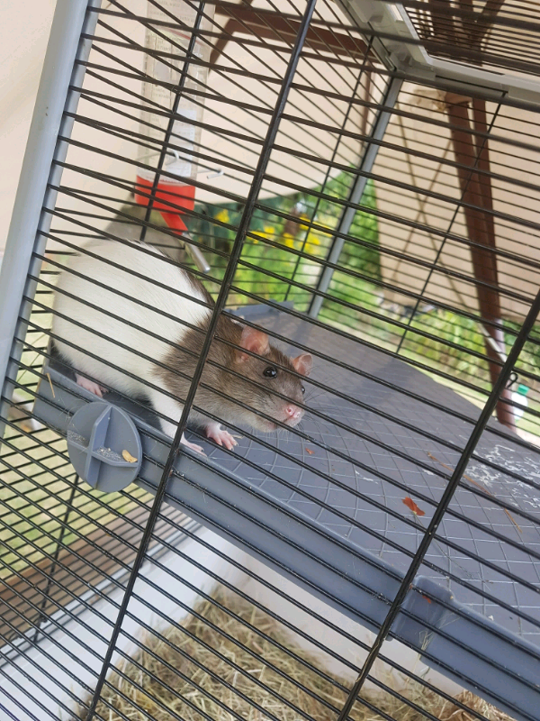 2 friendly male rats free to a friendly home | in Ramsgate