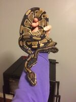 2 Ball pythons with enclosure and equipment