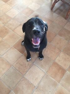 10 month old spayed lab cross looking for new home