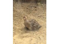 Gora teeter / Francolin pair for sale 261 ovno
