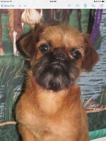 Brussels Griffon pup