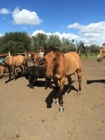 Morgan mare and gelding for sale