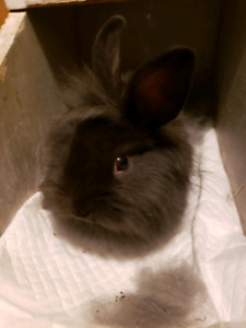 Young Male lionhead x