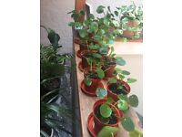 House plant sale! - pilea peperomiodes, spider plants, croton and more!