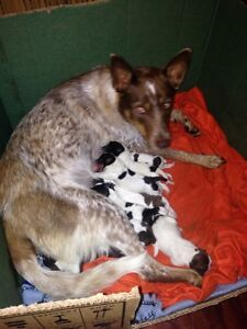 Blue and Red Heeler Puppies