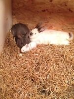 Young White California meat rabbits