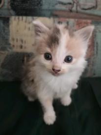 Cute little kitten for sale.