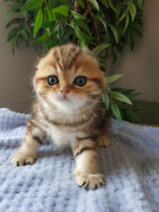 (Sold Out) New litter of Scottish Fold on a way