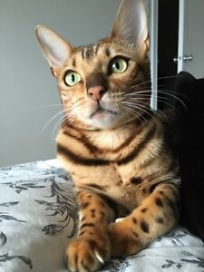 Male Bengal For Sale $500 - 2 Years Old