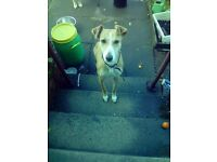 lurcher for sale