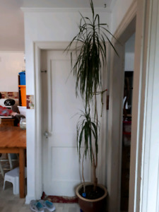 Very Tall House plant