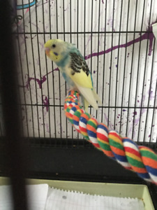 Lost Budgie-West End