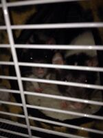 2 female rats with HUGE cage + lots of accessories for sale