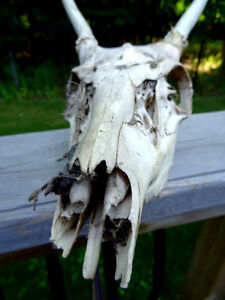 ANTELOPE SKULL with TEETH man cave cottage SCIENCE Art Deco Cambridge Kitchener Area image 4