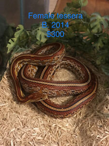 Adult corn snakes for sale