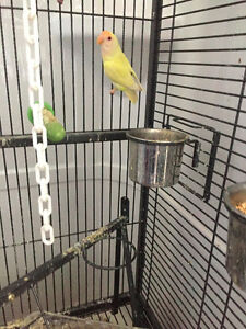 Pair of Gorgeous LOVEBIRDS  One a rare albino One green $125.00