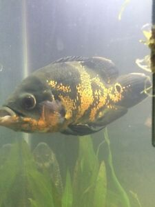 Fish to rehome , oscar south american cichlid