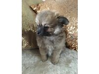 Beautiful Pomchi puppies ( only one boy remaining )