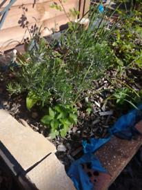 Levander Garden Plants - 100% ORGANIC From £1