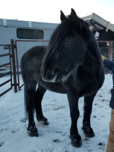Registered Canadian stallion available to breed outside mares