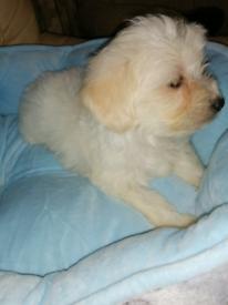 Gorgeous Maltipoo Boy puppy
