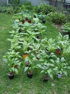 HOSTA - VIVACE / PERENNIAL PLANT 8 TYPES AVAILABLE AT THE MOMENT