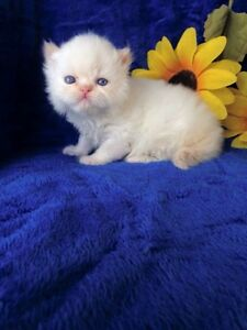 WHITE HIMALAYAN MALE AVAILABLE