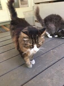 Free- lovely long hair cats