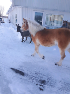 Belle jument haflinger  $500