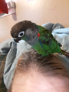 My Beautiful Pearly Conure