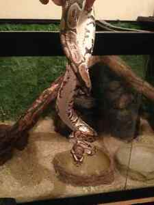 Must sell ..Ball python female plus 100 gallon tank and extras Kitchener / Waterloo Kitchener Area image 4