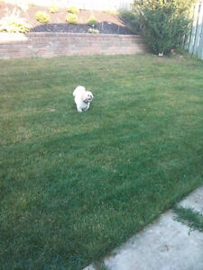 Free 5 year old Shihtzu to a loving home Cambridge Kitchener Area image 1