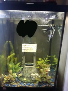 Male angelfish