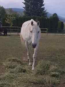 13 year old thoroughbred Mare