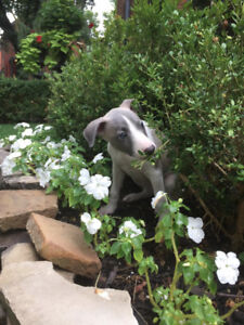 Whippet Puppies Available