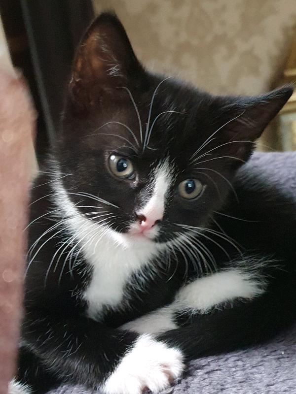 Kitten S For Sale Gorgeous Tuxedo Male Warm Cuddles In Winter In Slough Berkshire Gumtree