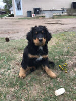 Bernedoodle Puppies for sale ( All Puppies sold)