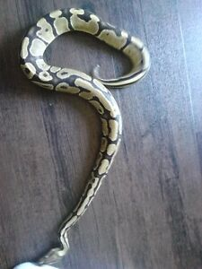 Female fire ball python $80