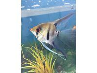 5 large adult angel fish