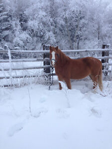 Small horse for sale