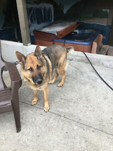 5year old German Sheppard free to good home