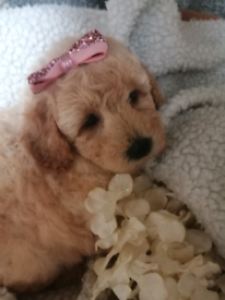 Gorgeous Miniature poodle puppies. Ready to view now.