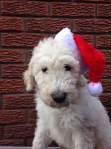 ADORABLE F3 Labradoodles  AVAILABLE
